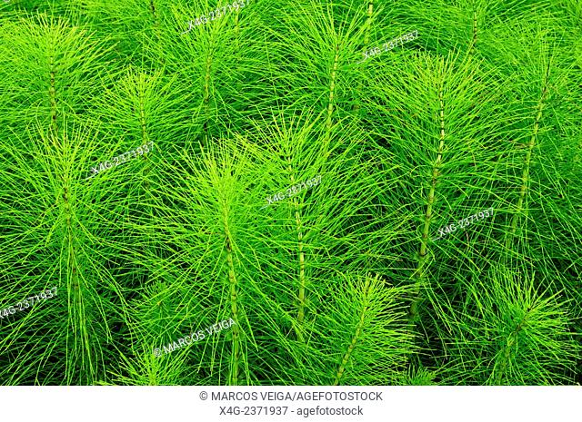 Great horsetail or northern giant horsetail (Equisetum telmateia)