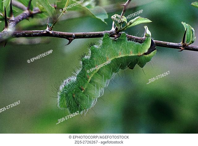 A fat green caterpillar feeding on a Zizyphus twig of the tree