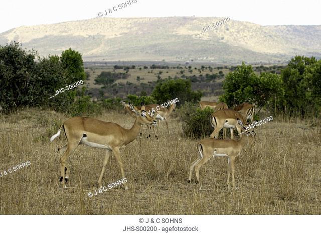 Impala, Aepyceros melampus, Masai Mara, Kenya, group of female with youngs