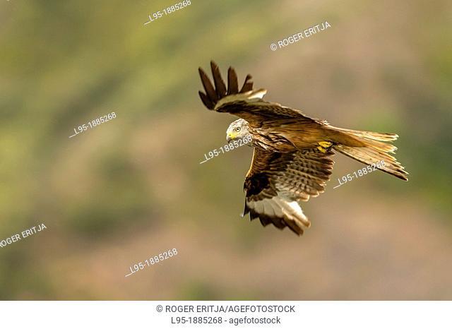 Red Kite Milvus milvus in flight with eye contact, Spain