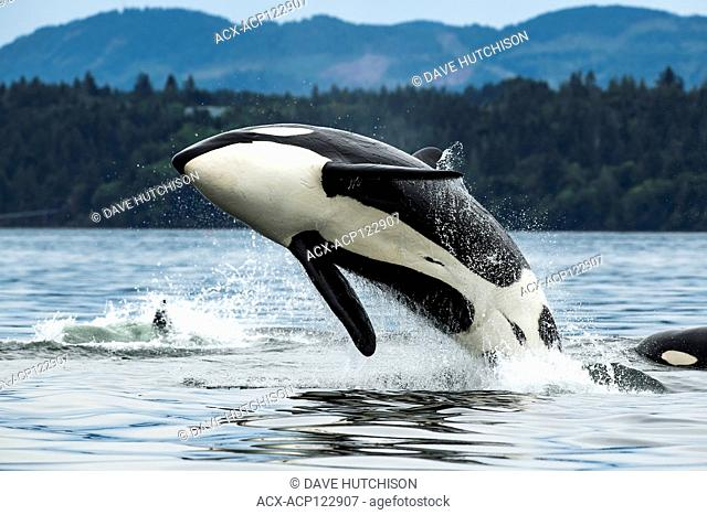T065A2, Biggs Orca Whale (Orcinus orca), Cowichan Bay, Vancouver Island, BC, Canada
