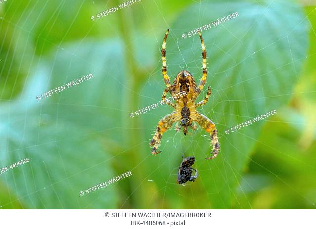 Garden spider (Araneus diadematus) in its web with prey, Thuringian Forest, Thuringia, Germany