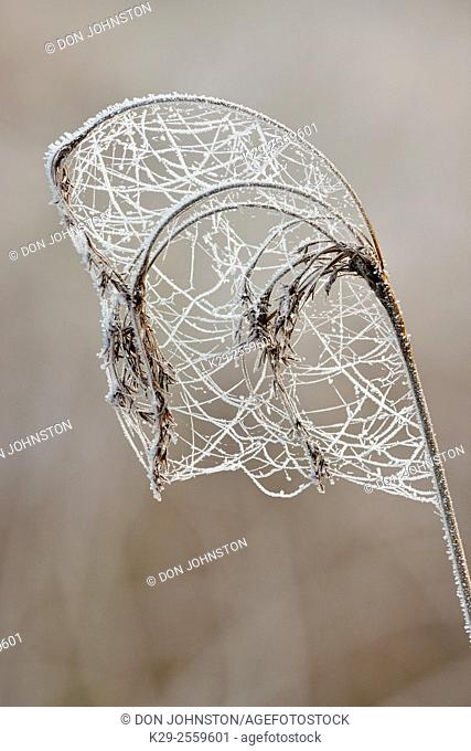 Frosted soft rush with an orb-weaver's spider web, Greater Sudbury, Ontario, Canada