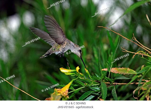 Anna`s Hummingbird,Calypte anna,Sonora Desert,Arizona,USA,subadult flying feeding on bloom