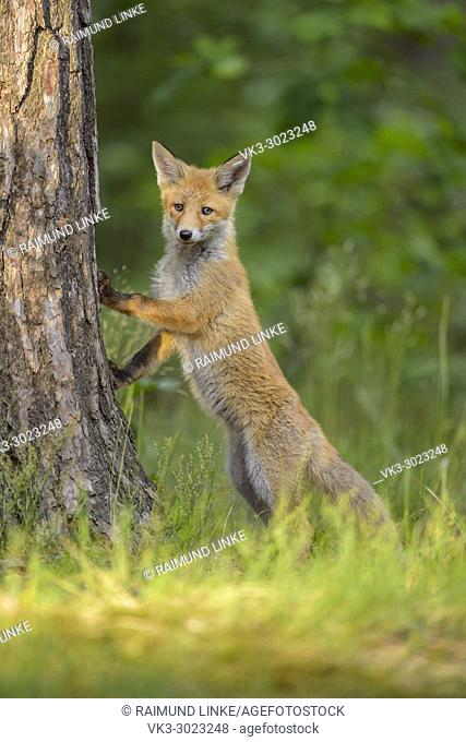 Red Fox, vulpes vulpes, Young Fox, stands at the tree trunk, Germany, Europe