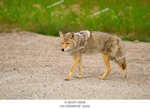 Coyote, Banff, Alberta, Canada