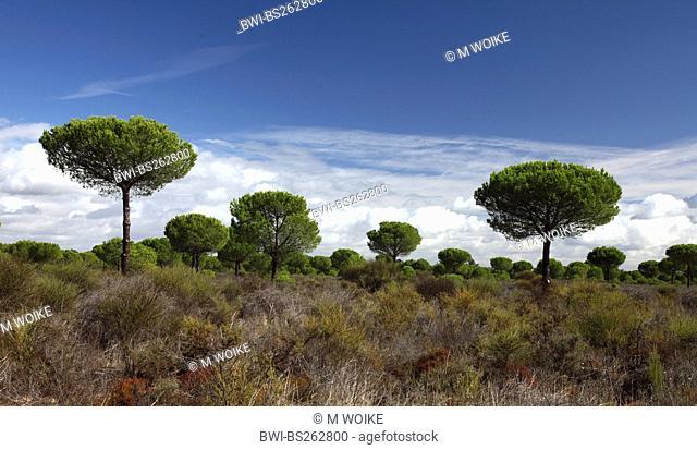 umbrella pine Pinus pinea, landcape with umbrella pines, Spain, Coto De Donana National Park, Acebron