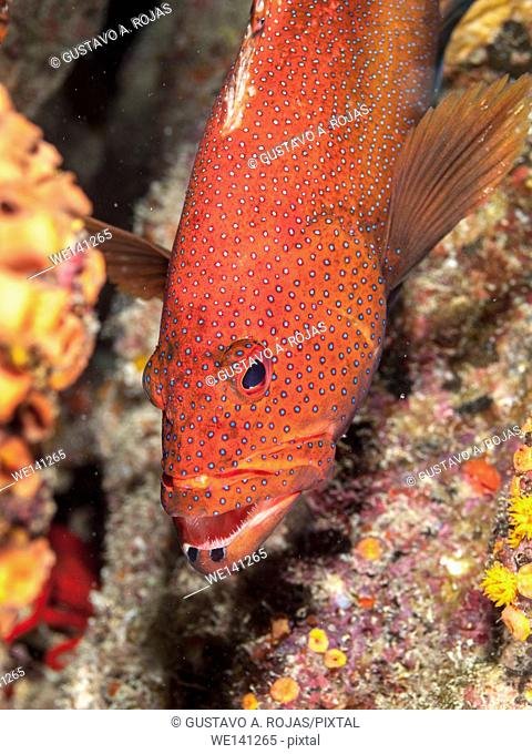Coney Grouper, Cephalopholis fulva, EPINEPHELUS FULVUS, Los Roques, Venezuela phase coloration bright red