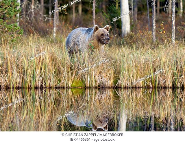 Brown bear (Ursus arctos), male at lake, Kainuu, North Karelia, Finland
