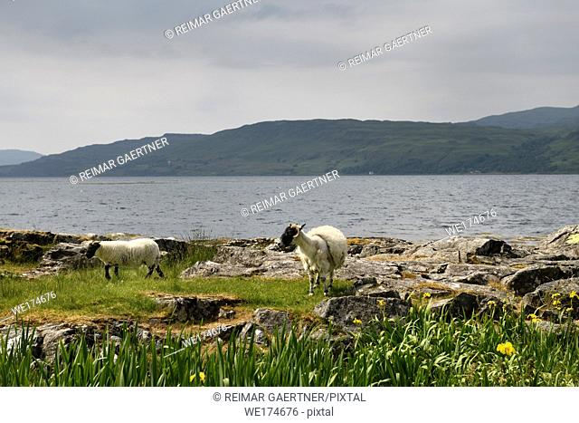 Scottish Blackface sheep lamb and mother shedding fleece at the shore of Lach Na Keal on Isle of Mull Scotland UK with yellow flag Iris flowers