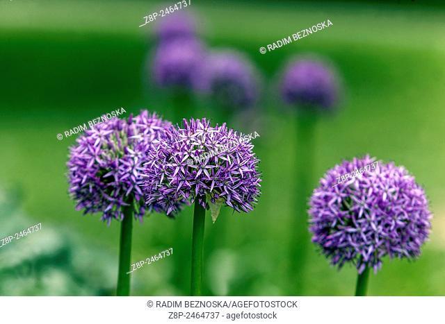 Alium flower head