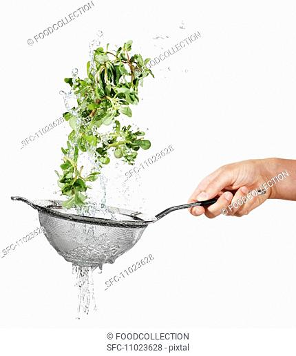 Washing purslane in a colander