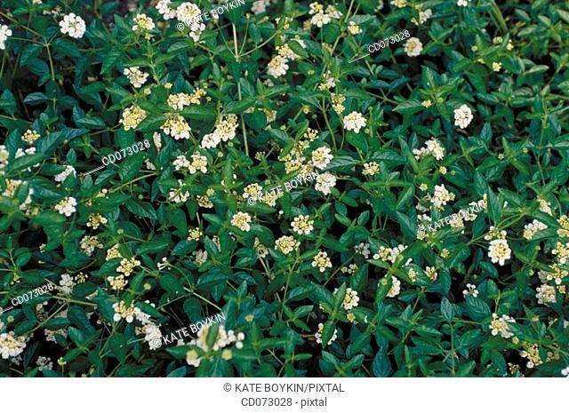 Common Lantana (Lantana camara), medicinal plant