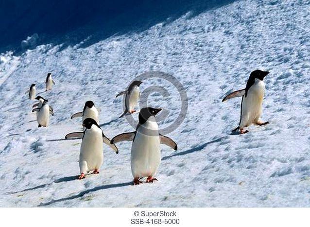 antarctica, south orkney islands, laurie island, adelie penguins & chinstrap penguin walking along snowbank
