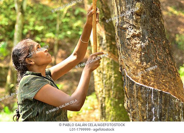 Removing rubber Hevea brasiliensis, Ratnapura region, Sri Lanka