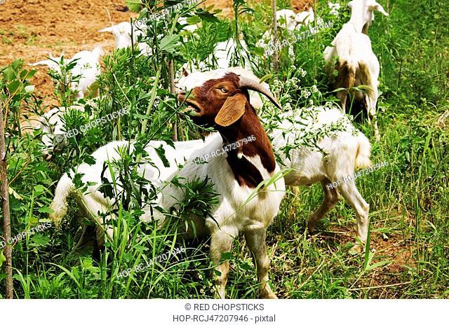 Herd of goats grazing in a field, Zhigou, Shandong Province, China
