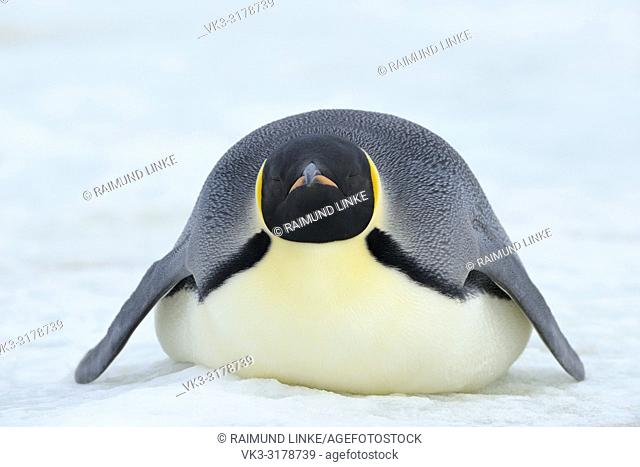 Emperor penguins, Aptenodytes forsteri, Adult Lying on Ice, Sleeping, Snow Hill Island, Antartic Peninsula, Antarctica