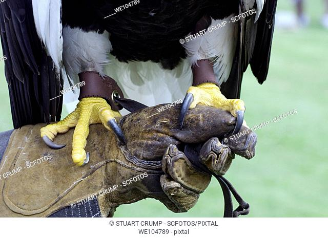 Steller's Sea Eagle claws grip on to it's handlers protective glove