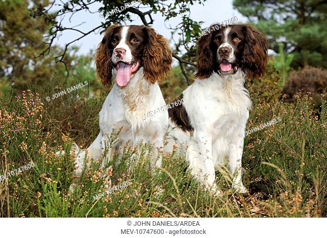DOG. English springer spaniel pair sitting in heather