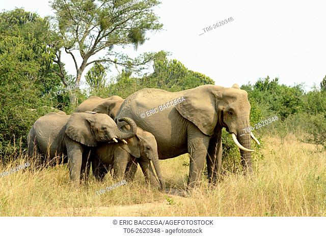 African Elephant (Loxodonta africana), group with females and youngs foraging in the savanna, Queen Elizabeth National Park, Uganda, Africa