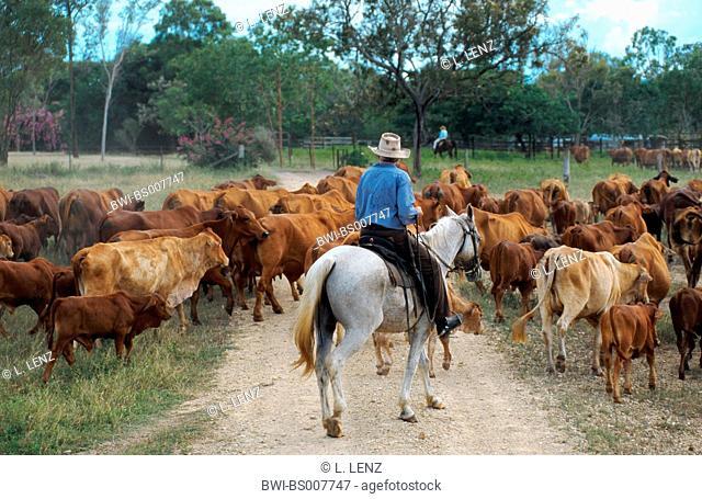 Australian stockhorse (Equus przewalskii f. caballus), stockman driving cattles, Australia