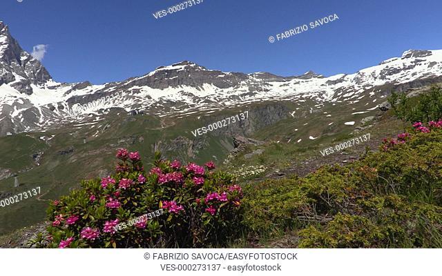 Alpenrose and Mount Cervino or Matterhorn, Aosta Valley, Italy