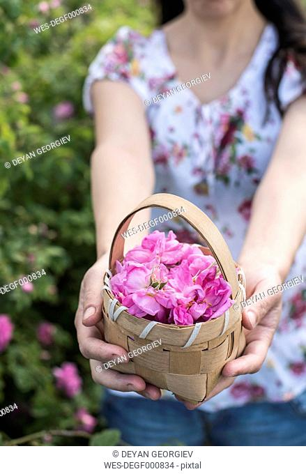 Woman picking rose blossoms
