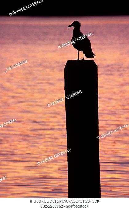 Gull on piling, Waterfront Park, Allyn, Washington