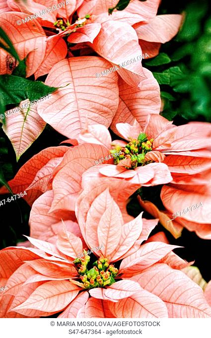 Poinsettia. Euphorbia pulcherrima. December 2006, Maryland, USA