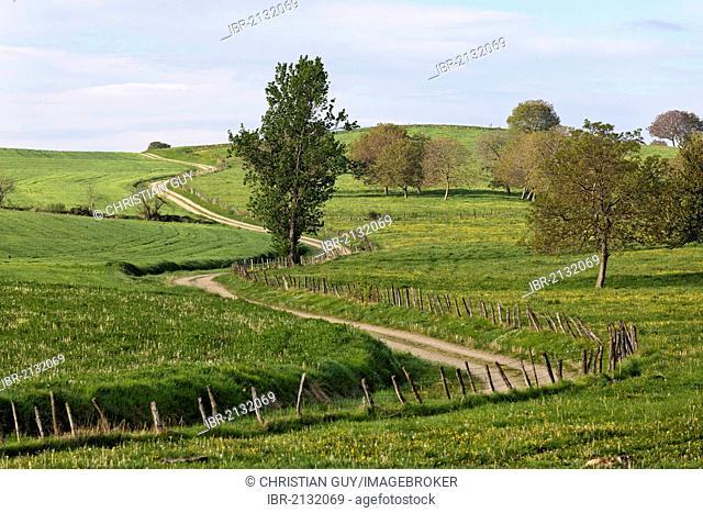 Country road and trees, agricultural landscape, Livradois Forez natural park, Puy de Dome, Auvergne, France, Europe