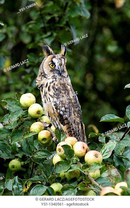 LONG-EARED OWL asio otus, ADULT STANDING ON APPLE TREE BRANCH, NORMANDY IN FRANCE