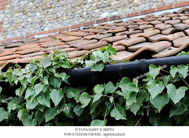 Common Ivy Hedera helix leaves, growing over house guttering, Norfolk, England, march