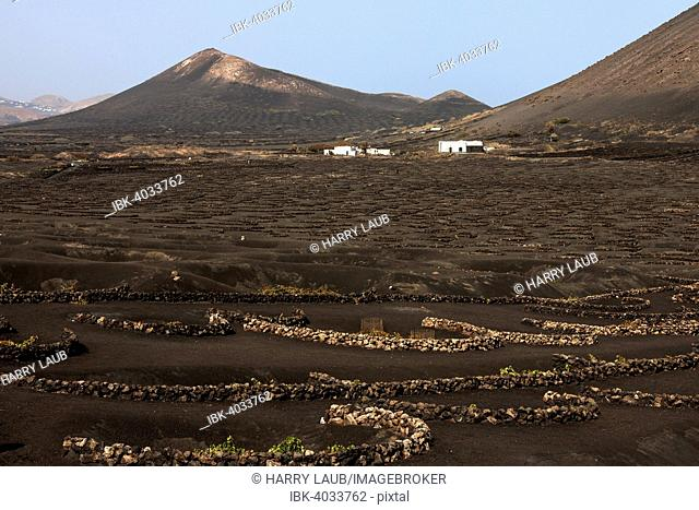 Typical vineyards in dry cultivation in volcanic ash, lava, wine-growing region La Geria, white houses in the back, Lanzarote, Canary Islands, Spain