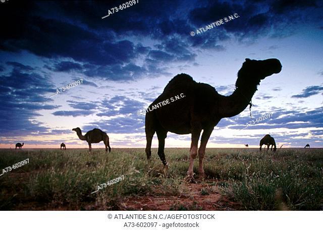 Premier Camels Racing event. Boulia desert. Queensland. Australia