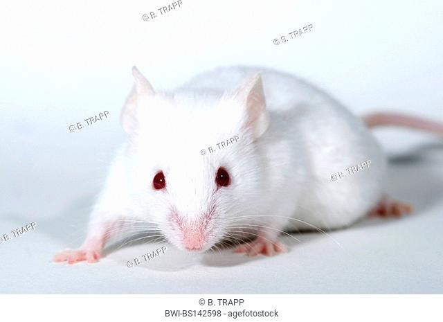 house mouse (Mus musculus), albino mouseon white subsurface, captive