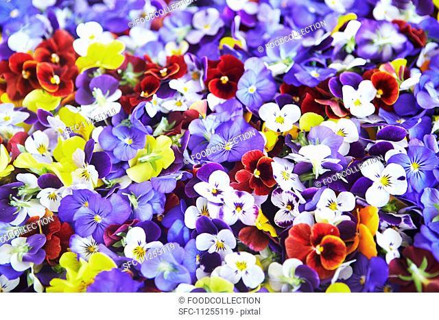 Various different coloured pansies (full frame)