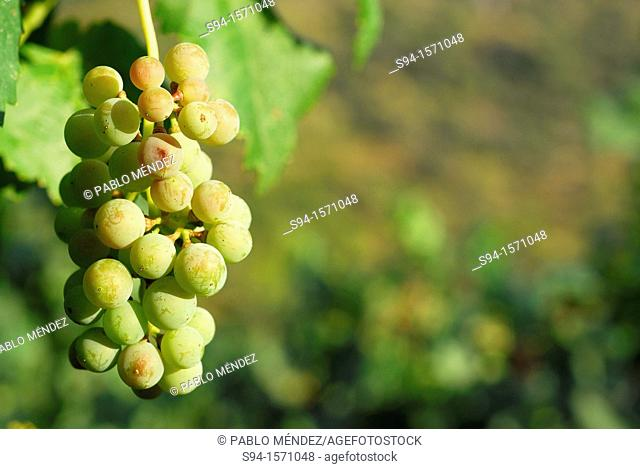 Cluster of white grapes in Valencia del Sil, Orense, Spain