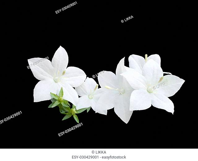 beautiful white campanula bell is isolated on black background, closeup