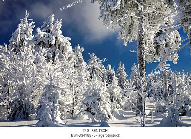 winter forest on Fichtelberg mountain, Germany, Saxony, Erz Mountains