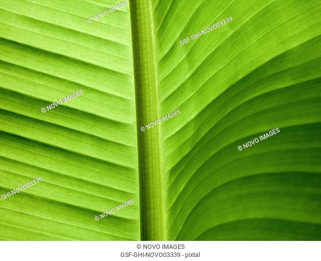 Green Banana Leaf, Close-Up
