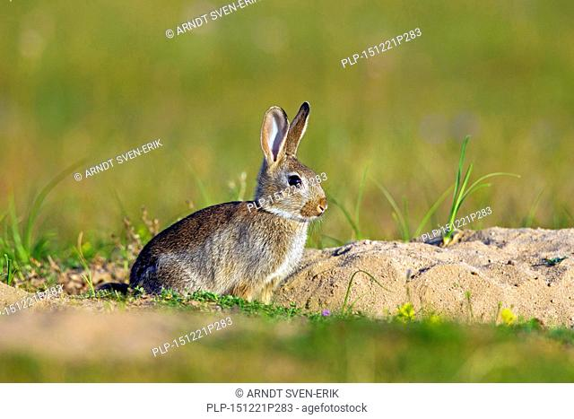 European rabbit / common rabbit (Oryctolagus cuniculus) juvenile sitting in front of burrow / warren entrance in meadow