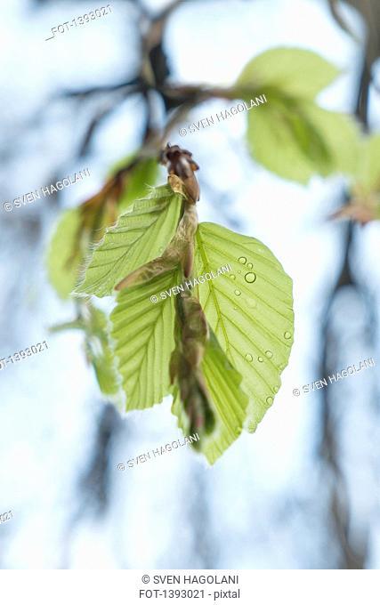 Water drops on tree leaves