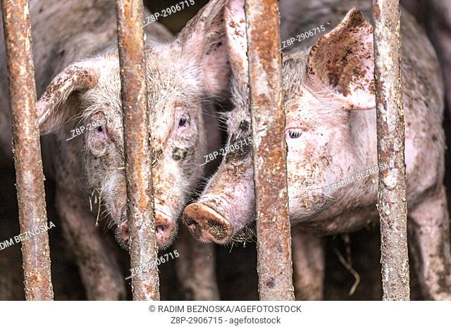 Hungry dirty pink piglet in a farm