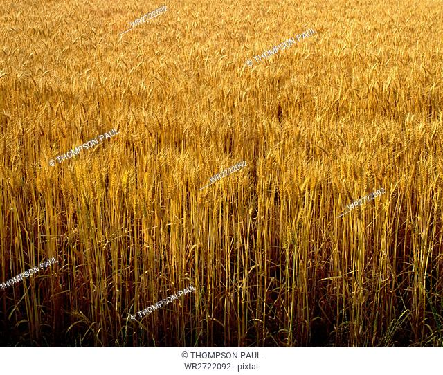 90900089, Field of Wheat, field, wheat, grow, grow