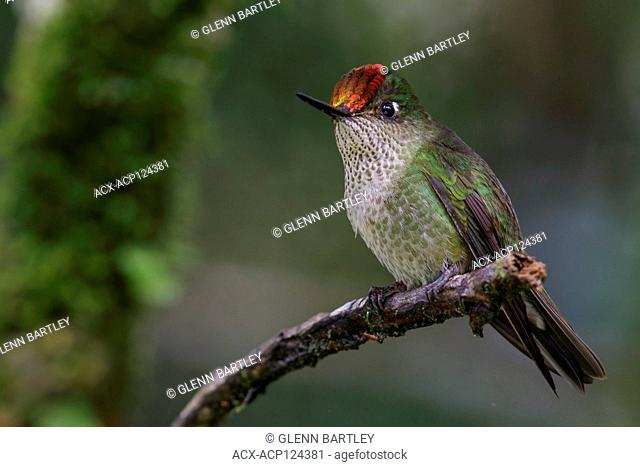 Green-backed Firecrown (Sephanoides sephaniodes) perched on a branch in Chile