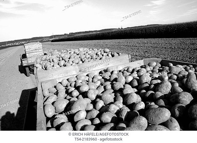 Freshly harvested potatoes on a German Field
