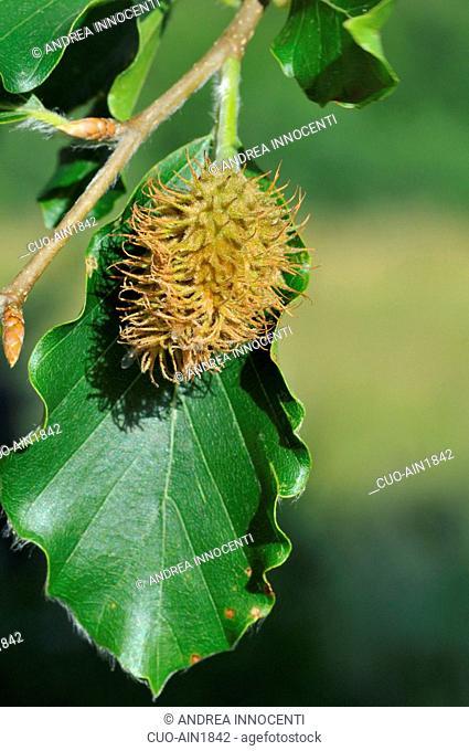 Fagus sylvatica, European Beech or Common Beech nut