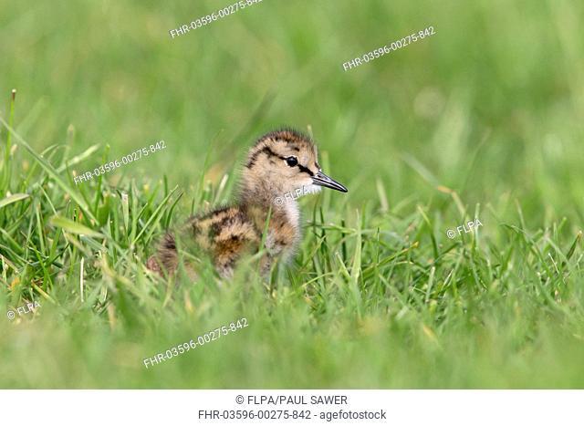 Common Redshank (Tringa totanus) chick, standing in grass on grazing marsh, Suffolk, England, June