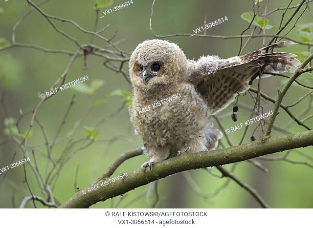 Tawny Owl ( Strix aluco ), cute fledgling, begging for food, funny situation, wildlife
