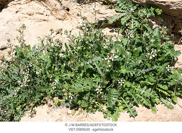 Wild radish (Raphanus raphanistrum) is an annual or biennial herb native to Europe, north Africa and western Asia. Is considered the ancestor of edible radish